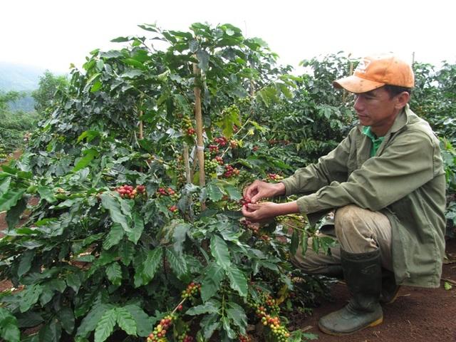 Người dân bắt đầu bước vào vụ thu hoạch cà phê