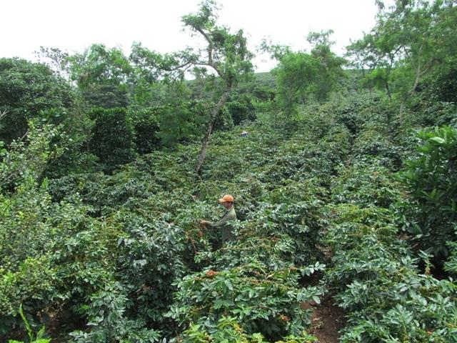 Huyện Hướng Hóa là vùng chuyên canh cà phê lớn của khu vực miền Trung
