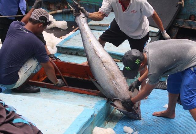 Ngư dân Nam Trung Bộ vận chuyển cá ngừ đại dương lên cảng Hòn Rớ (TP Nha Trang) những ngày gần đây