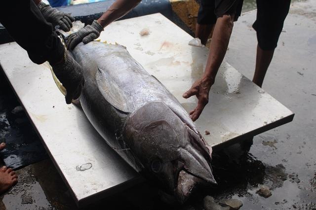 """Giá cá ngừ bất ngờ """"tăng vọt"""", ngư dân thu lãi trăm triệu đồng/chuyến - 3"""