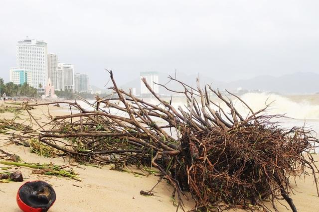 Hàng loạt nhánh củi lớn dạt vào bờ biển Nha Trang