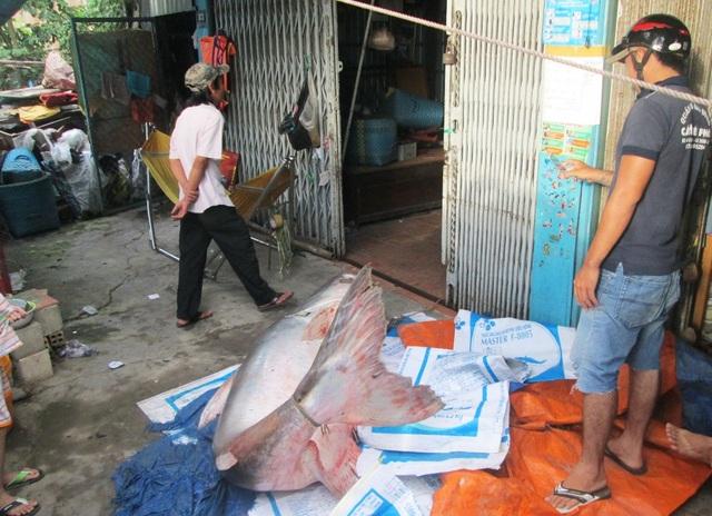 Con cá tra nặng 200kg mà gia đình bà V. vừa mua được của một người dân đánh bắt được trên Biển Hồ Campuchia