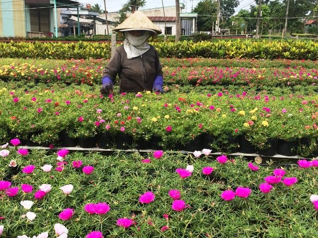 Thời gian này,  bà con trồng hoa như ăn ngủ ngoài vườn để lo cho mùa hoa Tết