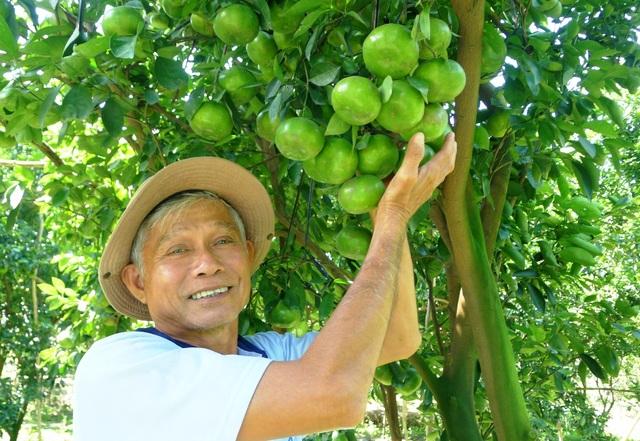 Ông Lưu Văn Ràng - xã Vĩnh Thới, huyện Lai Vung cho biết tại địa phương của ông, vụ quýt hồng bán tết năm nay số hộ thành công theo tỷ lệ 3/10 (10 hộ chỉ có 3 hộ thành công)