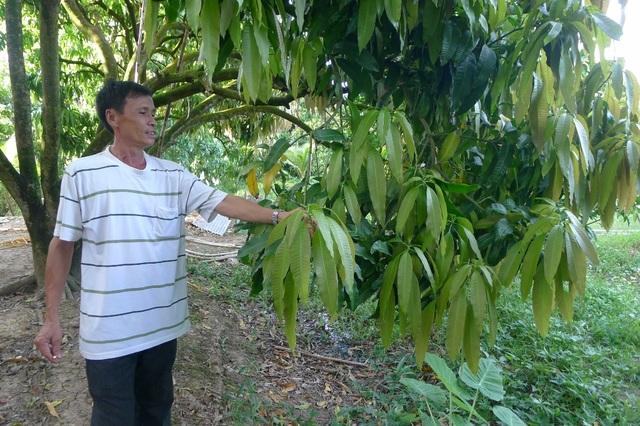 Anh Trần Văn Dũng - xã Hòa An, TP Cao Lãnh là một trong những nông dân trồng xoài thành công trong vụ xoài tết năm nay nhưng trong vườn xoài 8.000m2 của anh vẫn có nhiều cây không đậu trái ra đọt non thế này