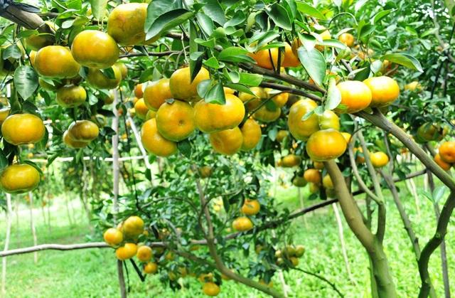 Do sản lượng các loại trái cây trưng tết, như quýt hồng, xoài cát chu và bưởi... nên nhiều nông dân dự đón năm nay giá các loại trái cây này sẽ tăng cao hơn mọi năm