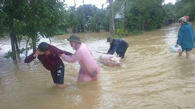 Người dân Hương Khê cứu gia súc trong cơn lũ lớn vừa qua.