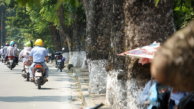Ông Lê Huy Hoàng - Phó Trưởng ban quản lý Đường sắt đô thị Hà Nội cho biết, trong toàn bộ dự án thi công tuyến đường sắt số 3, đoạn Nhổn - ga Hà Nội, trên 500 cây xanh phải di chuyển, cắt sửa. Riêng từ đoạn đền Voi Phục đến đường Trần Hưng Đạo, phải di dời số lượng tới hơn 440 cây.