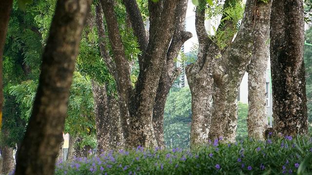 Đoạn đường có tới 109 cây xanh, trong đó có 24 cây đại thụ có kích thước lớn sẽ được cắt tỉa rồi đánh gốc để chuyển đến một vườn ươm chăm sóc.
