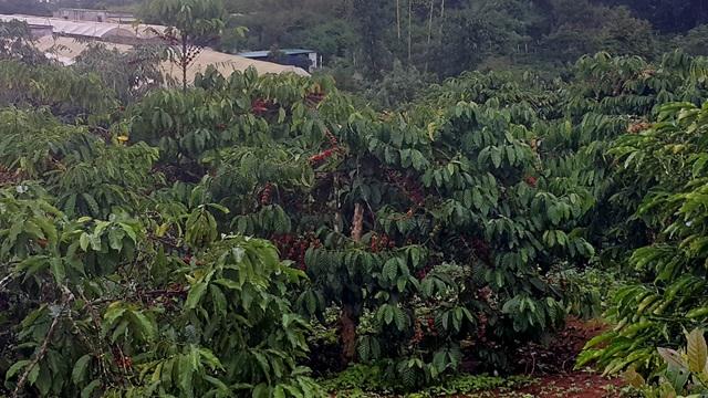 Nhiều cây cà phê đã chín đỏ rực, nhưng do trời mưa nên không thể thu hoạch