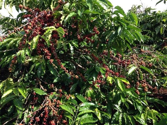 Nắng mưa thất thường trái cà phê nhanh chín hơn, giá nhân công dịp này cũng được đẩy lên cao