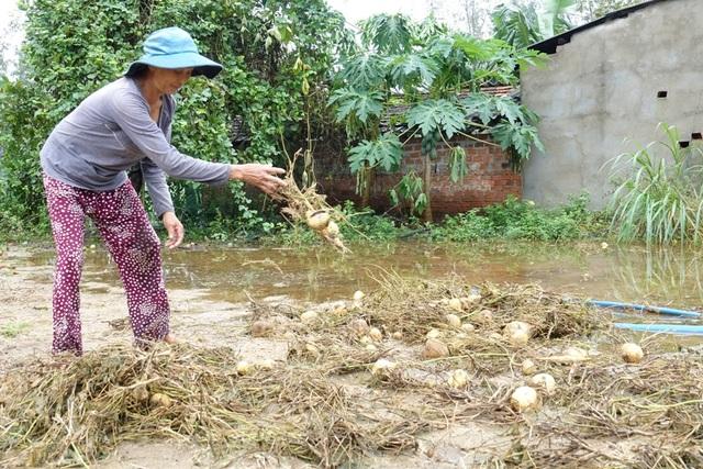 Đợt mưa lũ vừa qua đã gây thiệt hại nặng cho người trồng sắn ở Mộ Đức. Nhiều diện tích sắn người dân phải bỏ đi vì hư hỏng.