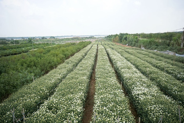 Ở Hà Nội, nơi cung cấp cúc họa mi trong mùa hoa chủ yếu được trồng từ Nhật Tân.