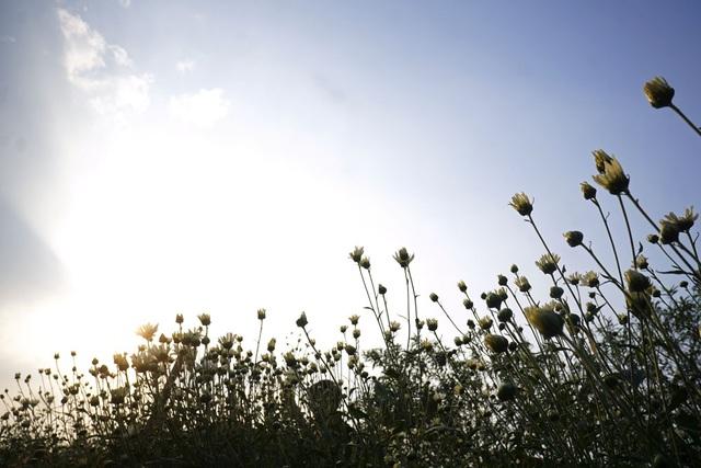 Hà Nội: Tinh khôi mùa hoa cúc họa mi - 11