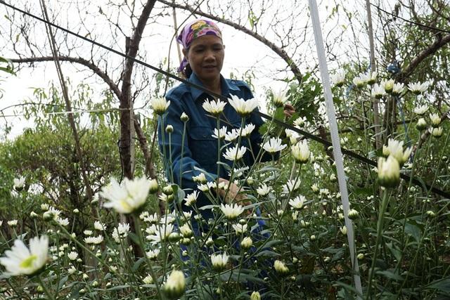 Một chủ vườn đang cắt hoa mang bán cho biết, cúc năm nay nở muộn và được ăn lâu hơn bởi hoa nở không đều. Việc này gây khó khăn khi cắt, nếu hoa nở đều chỉ việc ngồi một chỗ cắt một loạt là xong.