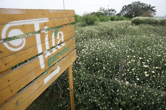 Ở Nhật Tân có 2 kiểu vườn trồng cúc họa mi. Kiểu trồng xen dưới luống đào là thuần để thu hoạch rồi mang bán. Còn với những luống hoa chạy dài thẳng tắp đẹp mắt là sự kết hợp với cho thuê chỗ chụp ảnh khi hoa đang nở đẹp, sau đó mới thu hoạch. Trong ảnh là một vườn hoa chuyên cho thuê chụp ảnh.