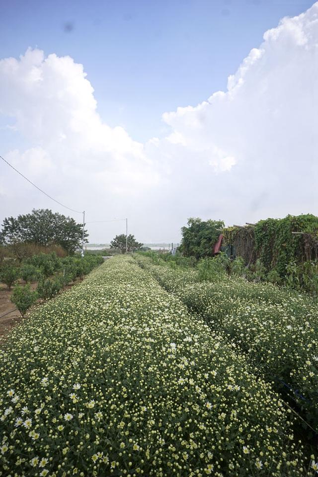 Những luống hoa cúc họa mi sắc trắng dưới nền trời xanh là một sự kết hợp hấp dẫn thu hút những người thích chụp ảnh.