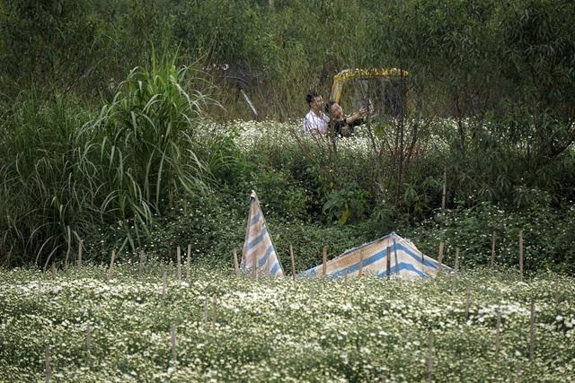 Tuy vậy, để chọn được bối cảnh bát ngát cánh đồng hoa cúc không phải là dễ vì chúng thường chỉ được trồng vài luống và nằm khuất giữa nhiều bụi cây.