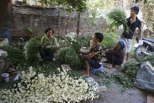 Một gia đình ở Nhật Tân đang thu hoạch chuẩn bị mang bán. Mùa cúc họa mi thường kéo dài trong 2 tuần nhưng năm nay có thể lên đến một tháng vì hoa không nở đều.