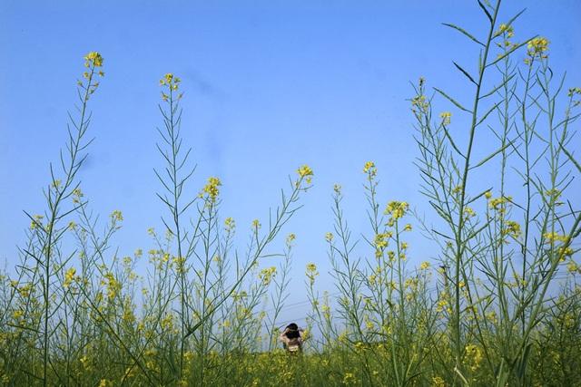 Rộ phong trào chụp ảnh trong vườn hoa cải bát ngát tuyệt đẹp - 11
