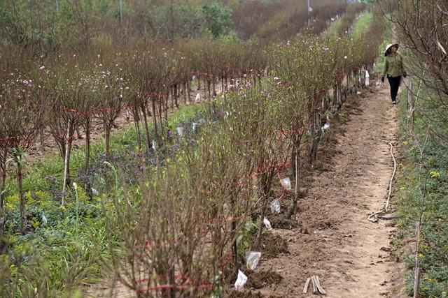 Những luống đào dài tít tắp ở Nhật Tân (Tây Hồ, Hà Nội) đã bắt đầu lác đác nở hoa. Việc đào nở ở thời điểm này là rất sớm, khi hơn một tháng nữa mới đến Tết Âm lịch.