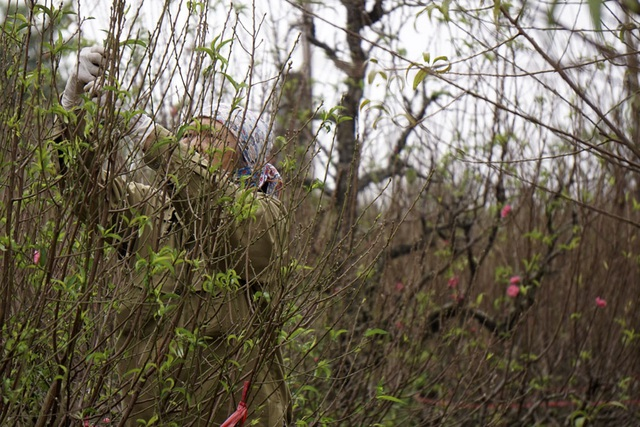 Còn hơn một tháng nữa mới đến Tết, người trồng đào hối hả chăm sóc, vưa bứt lá vừa khoanh vỏ, điều nước tưới để cố gắng còn giữ đào bán đúng dịp Tết.
