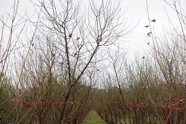 Tuy có nhiều cây đào đã ra hoa nhưng số cây vẫn còn đương nụ vẫn chiếm đa số. Người trồng đào ở Nhật Tân nhận định, khoảng 3 tuần nữa đào sẽ nở rộ.