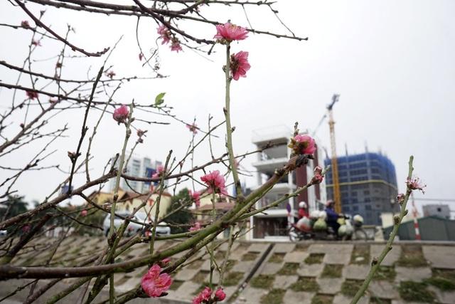Sắc hoa đào trên đường phố.