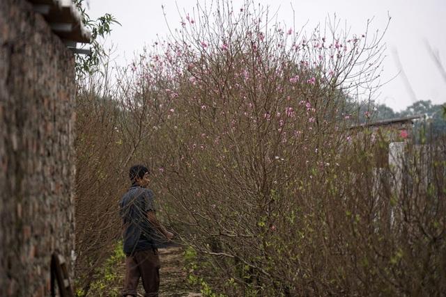 Những cây đào bung xung ở vườn đào Nhật Tân nổi tiếng. Đây là cách gọi của người dân cho loại đào để mọc gần như tự nhiên, không uốn kiểu. Nhiều cây đang độ ra hoa rất đẹp.
