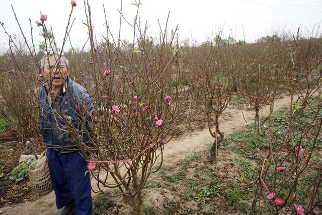 Ông Thái Ngô Long (Nhật Tân) đang đi ngắt bớt lá cho cây đào. Đây là kỹ thuật chăm sóc đào rất tốn công nhưng bắt buộc phải làm nếu như muốn có đào đẹp đúng dịp Tết.