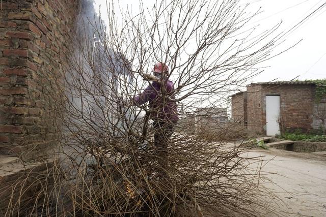 Một người trồng đào đang phải đốt bỏ những gốc đào chết do khoanh quá tay. Đây là kỹ thuật chăm sóc đào để có nhiều nụ hơn.