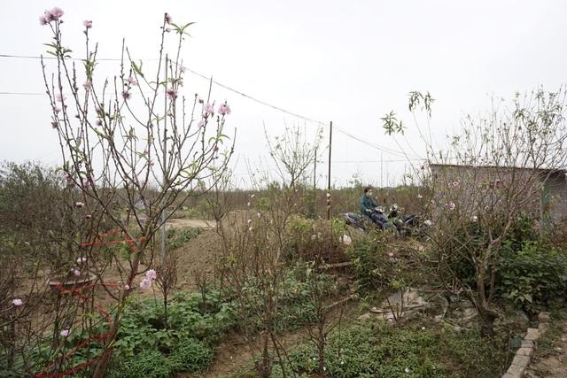 Sắc đào sớm trên cánh đồng Nhật Tân.