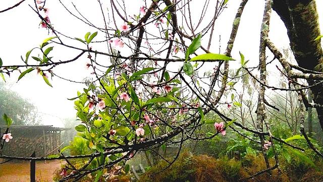 Hoa đào bung nở tuyệt đẹp mang Tết Đinh Dậu đến sớm - 2