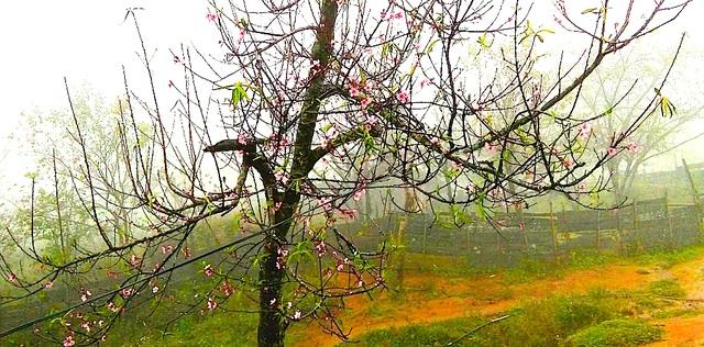 Hoa đào bung nở tuyệt đẹp mang Tết Đinh Dậu đến sớm - 3