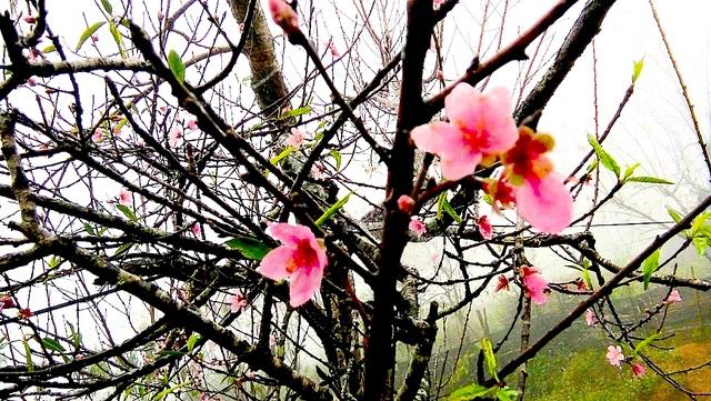 Hoa đào bung nở tuyệt đẹp mang Tết Đinh Dậu đến sớm - 5