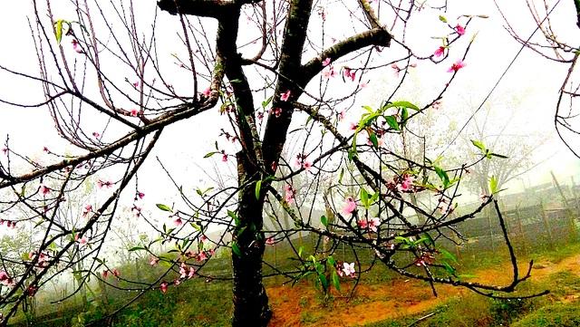 Hoa đào bung nở tuyệt đẹp mang Tết Đinh Dậu đến sớm - 4