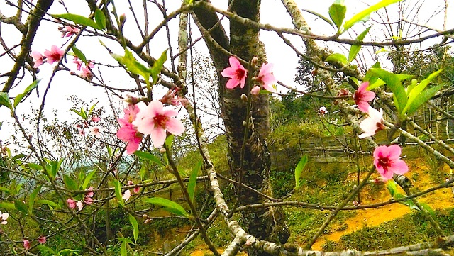Hoa đào bung nở tuyệt đẹp mang Tết Đinh Dậu đến sớm - 6