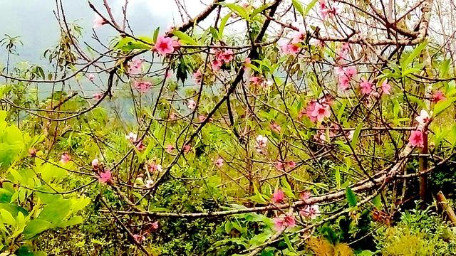 Hoa đào mang sắc Xuân đến sớm.