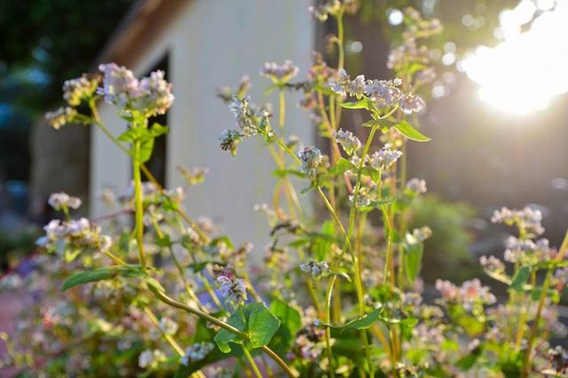 Cận cảnh loài hoa tam giác mạch