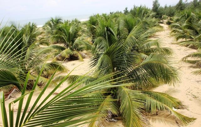 Trồng dừa xiêm lùn ven biển còn có tác dụng hạn chế nạn cát bay rất tốt