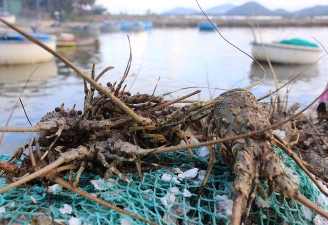 Tôm hùm của người dân xã Xuân Cảnh (thị xã Sông Cầu, Phú Yên) chết la liệt
