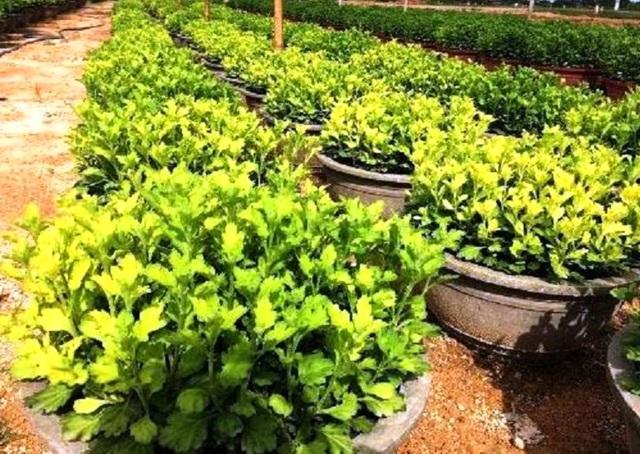 Cúc là cây nắng không ưa, mưa không chịu khiến người trồng cúc luôn thấp thỏm lo lắng (trong ảnh một số chậu cúc bị mưa nhiều gây vàng lá)