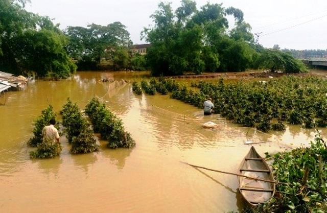 Trận lũ hồi đầu tháng 11 vừa qua, nhiều vườn mai của người dân xã Nhơn Phong, thị xã An Nhơn bị ngập nước lũ, gây thiệt hại đáng kể cho người dân (ảnh báo Bình Định)
