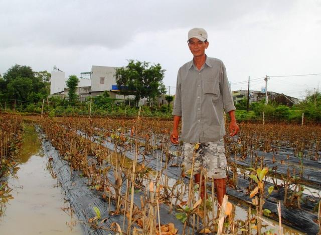 Anh Lê Ngọc Hữu (thôn Thanh Giang, xã Nhơn Phong) ngậm ngùi bên vườn mai 2.900 gốc chết gần hết do lũ hồi đầu tháng 11/2016
