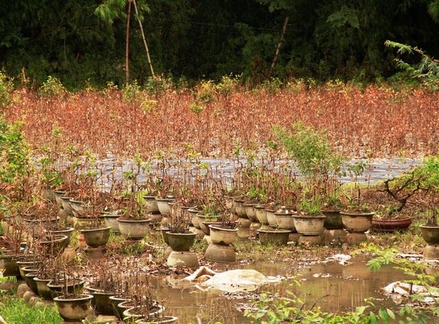 Nhiều vườn mai héo lá chết rũ do lũ
