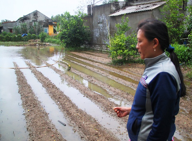 Chị Sen bên vườn đậu ve vừa xuống giống đã bị nước lũ ngập lâu ngày thối rữa
