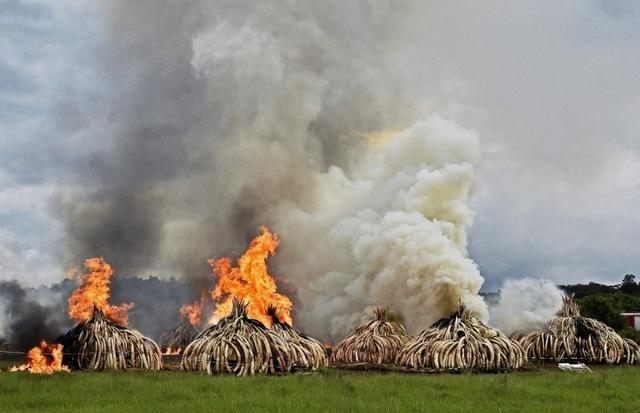 Ngày 30/4, Tổng thống Kenya Uhuru Kenyatta phát động sự kiện thiêu hủy ngà voi lớn nhất thế giới. Động thái này nhằm ngăn chặn việc mua bán ngà và sừng từ các động vật hoang dã. (Ảnh: AFP)
