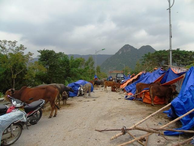 Người dân vùng tâm lũ ở xã nằm bên sông Gianh đưa trâu bò, xe cộ lên đường tránh lũ
