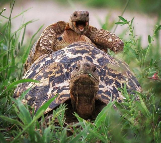 Một chú rùa báo nhỏ nghịch ngợm nhảy lên mai của một chú rùa lớn hơn trong công viên quốc gia Tarangire, Tanzania.