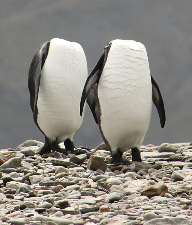 Nhiếp ảnh gia Charles Kinsey ghi lại khoảnh khắc hai chú chim cánh cụt cùng ngửa cổ ra đằng sau để rỉa lông. Ảnh chụp ở đảo South Georgia, Anh.